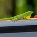 male Emerald Anole
