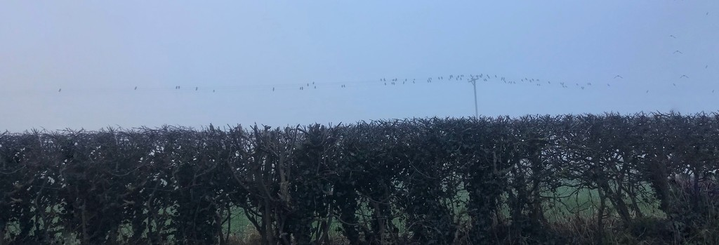 Birds on a foggy wire by happypat