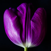 22nd Jan 2020 - tulip from the side