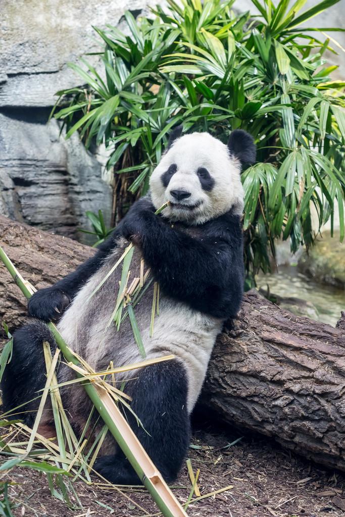 Panda Chill by kph129