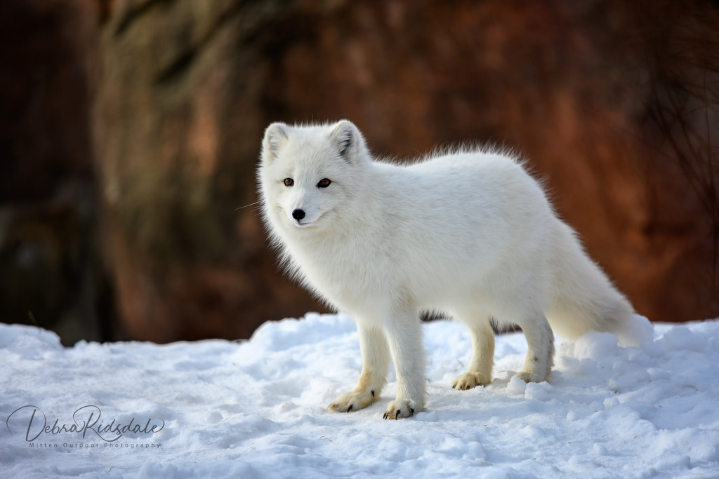 White Fox by dridsdale