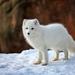 White Fox by dridsdale