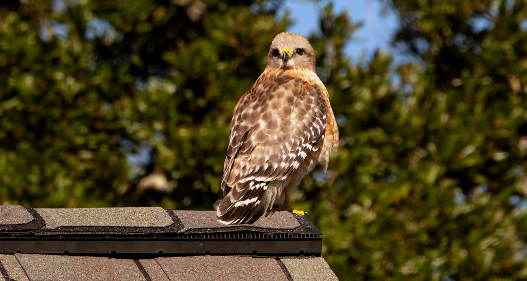 Red Shouldered Hawk Keeping an Eye on Me! by rickster549