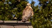 22nd Jan 2020 - Red Shouldered Hawk Keeping an Eye on Me!