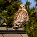 Red Shouldered Hawk Keeping an Eye on Me!