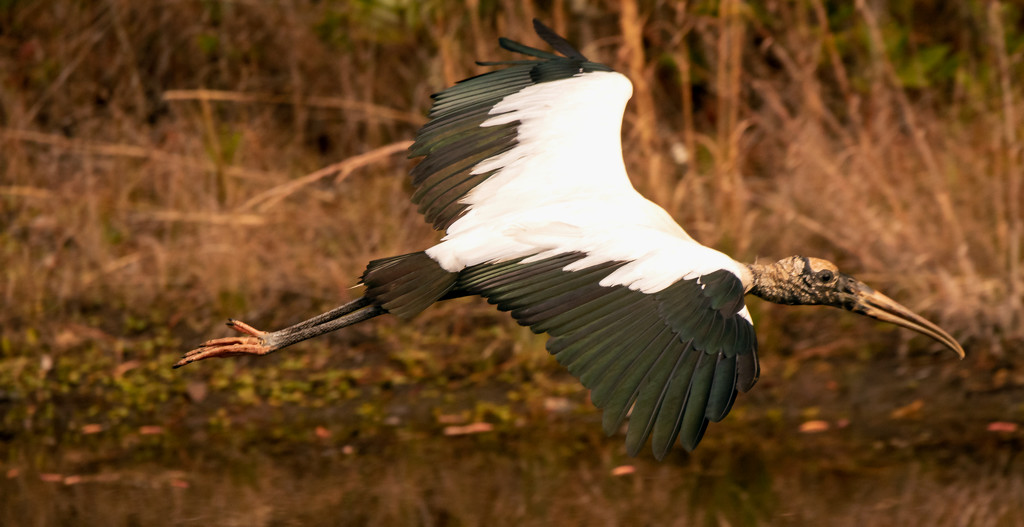 Woodstork Fly-by! by rickster549