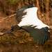 Woodstork Fly-by!