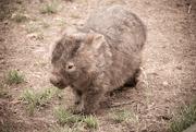 23rd Jan 2020 - Wombat