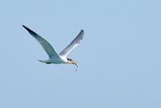 23rd Jan 2020 - Caspian tern with a fish