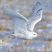 snowy owl on the wing by mjalkotzy