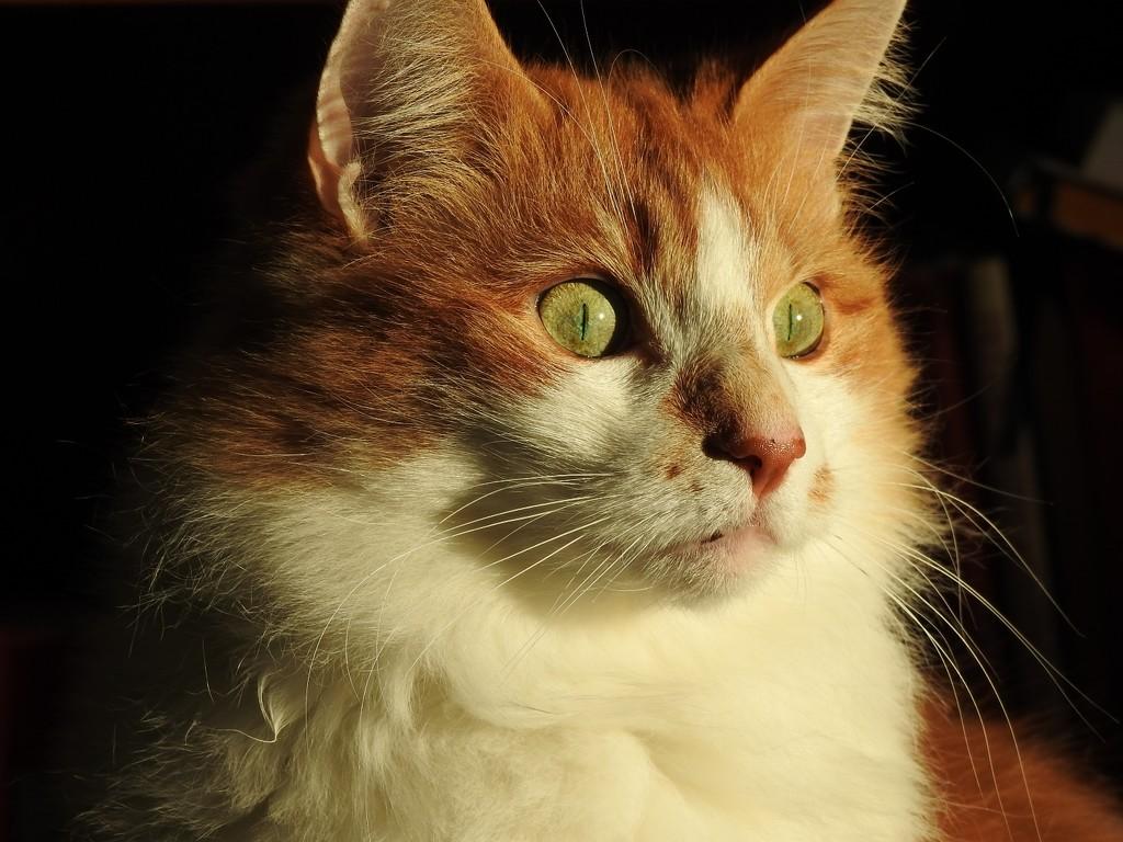 Ginger  by katriak