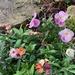 Pansies and wallflowers