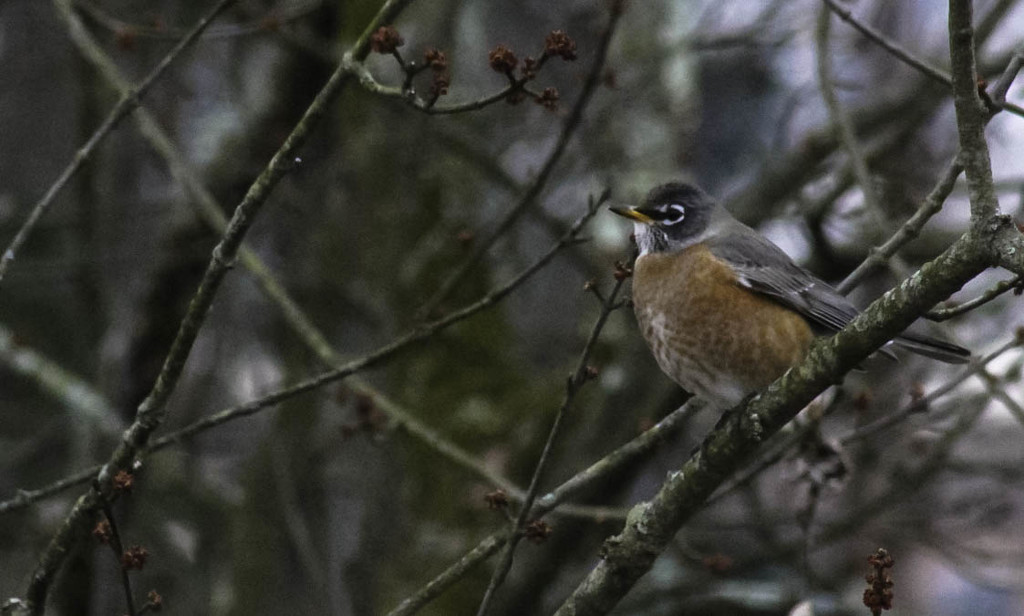 A robin in January by mittens