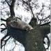 Joshi in the Magnolia tree
