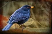 23rd Jan 2020 - Blackbird