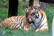 24th Jan 2020 - Relaxing Tiger