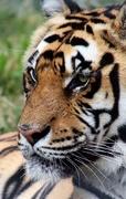 21st Jan 2020 - Tiger Profile