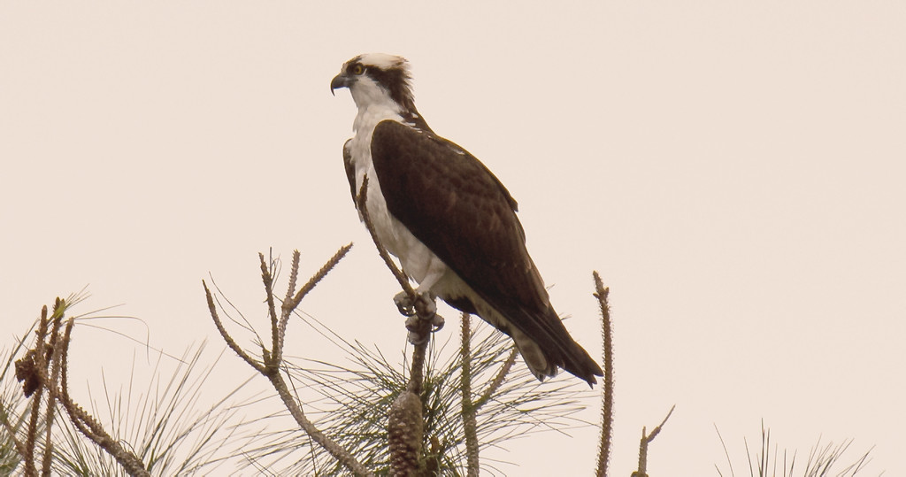 Today's Osprey! by rickster549