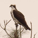 Today's Osprey!