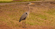 23rd Jan 2020 - Blue Heron Waiting for Lift Off!
