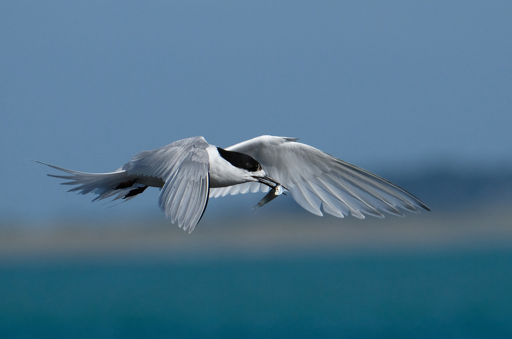 White fronted tern with a fish by maureenpp