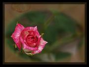 23rd Jan 2020 - miniature rose