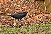 24th Jan 2020 - Mr Blackbird