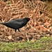 Mr Blackbird