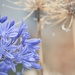 January Series - A month of Agapanthus (24)
