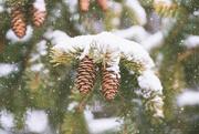 23rd Jan 2020 - Pinecones Adorned