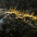Hairy moss shoots