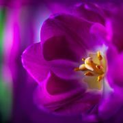 23rd Jan 2020 - tulip closeup