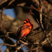 24th Jan 2020 - cardinal with a twig frame