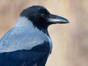24th Jan 2020 - The hooded crow