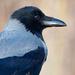 The hooded crow by haskar
