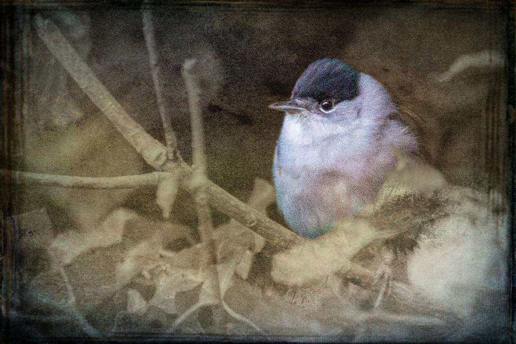 Blackcap by pamknowler