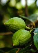 24th Jan 2020 - Lemon Tree