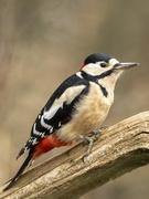 25th Jan 2020 - Woody Woodpecker