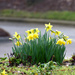 Morning Daffodils by homeschoolmom
