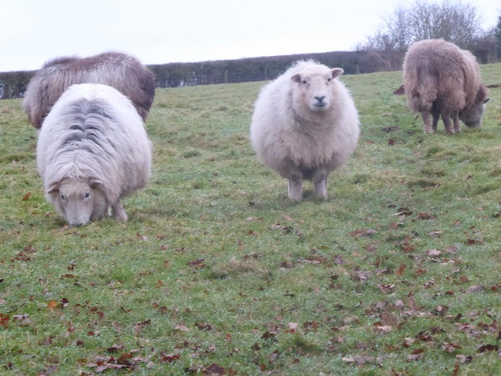 Herdwick sheep by snowy