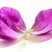 fallen petals - like a butterfly by jernst1779