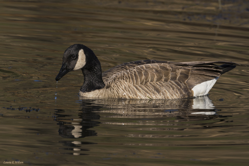 Canadian Goose With Water Drops by laurieewilson