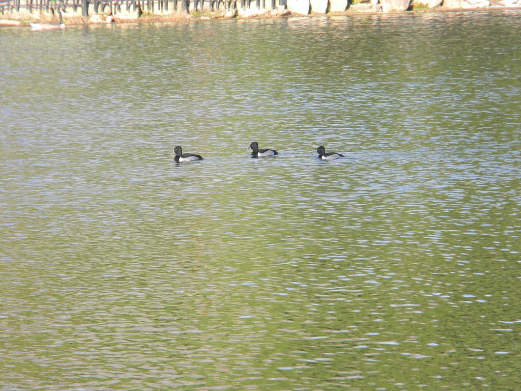 Three Ducks in Pond by sfeldphotos