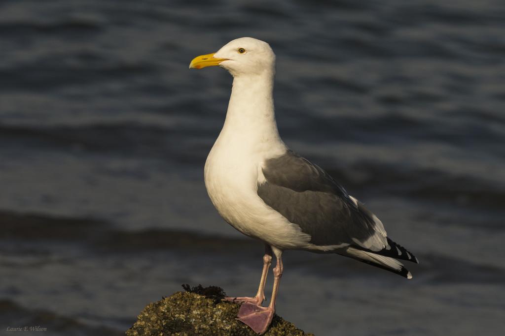 Western Gull Portrait by laurieewilson