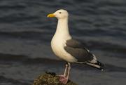 25th Jan 2020 - Western Gull Portrait