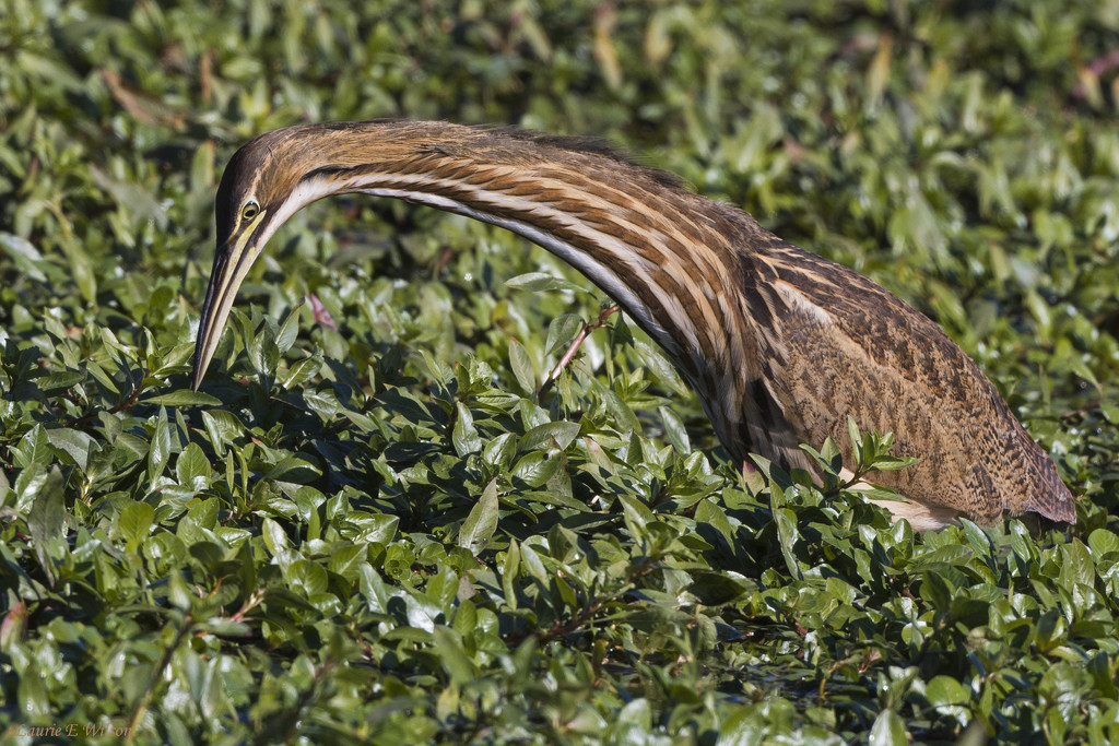 An American Bittern Hunting by laurieewilson
