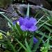 Such A Pretty Blue Flower ~