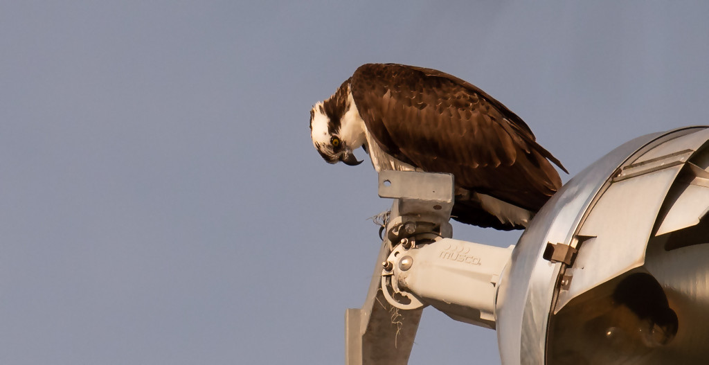 Osprey Checking Out Below! by rickster549