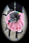 25th Jan 2020 - Flower dog.......