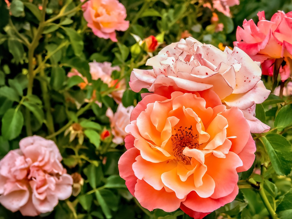 Rose garden by Lynn Anderson  by ludwigsdiana